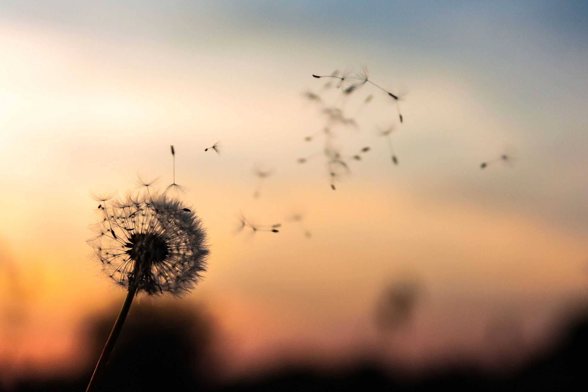 A dandelion blowing in the wind.
